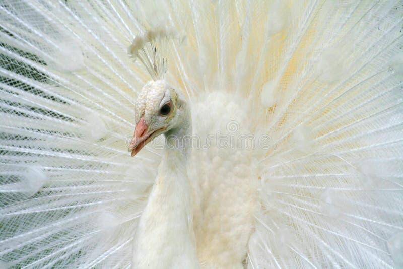 Albino-Weiß-Pfau lizenzfreies stockbild