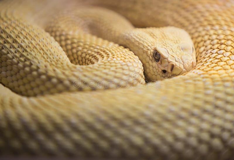 Albino Western Diamond Back Rattlesnake stock foto's