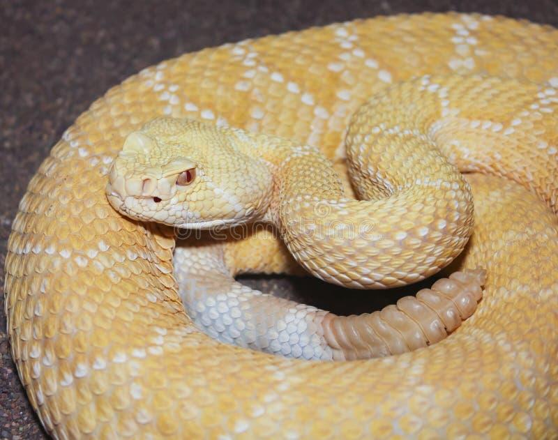 An Albino Western Diamondback Rattlesnake, Crotalus atrox royalty free stock photography
