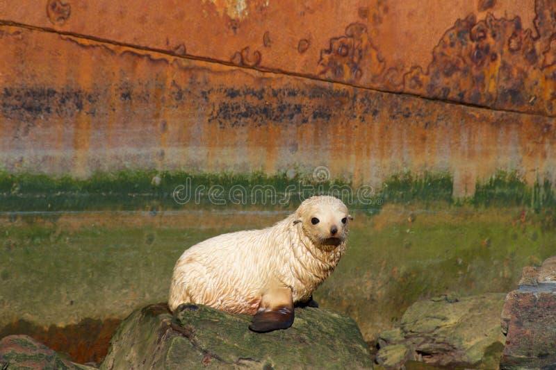 Albinobaby-Pelzdichtung bei Grytviken in Süd-Georgia stockfotos