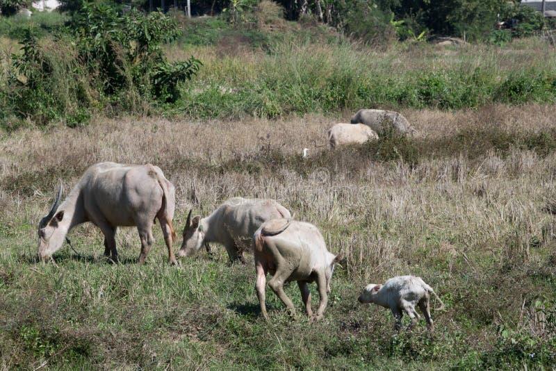 Albinobuffels stock foto's