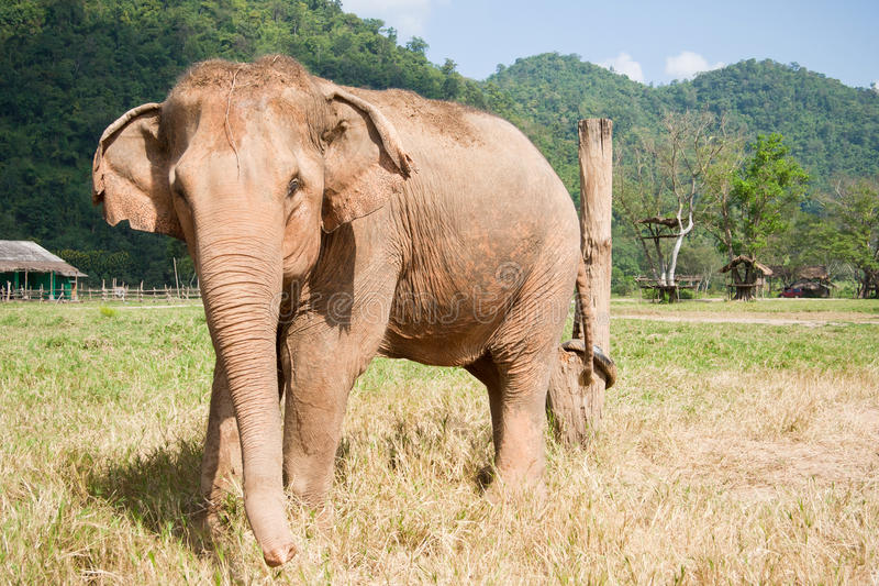 Albinos Elephant. Front view of an albinos elephant from Thailand Nature Park royalty free stock images