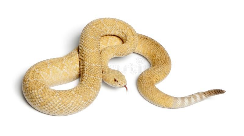 albinos western diamondback rattlesnake - Crotalus atrox, poison stock photo