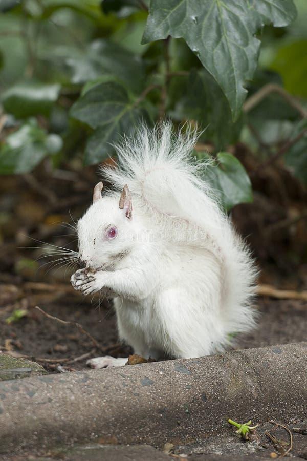 Albinos wiewiórka obraz royalty free