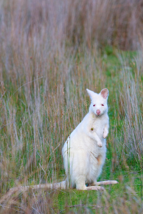 Albinosa Bennett ` s wallaby w łące na Bruny wyspie Tasmania obraz stock