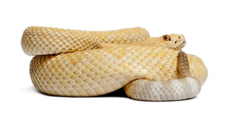 Albinosa diamondback zachodni grzechotnik - Crotalus atrox, jadowity zdjęcia stock