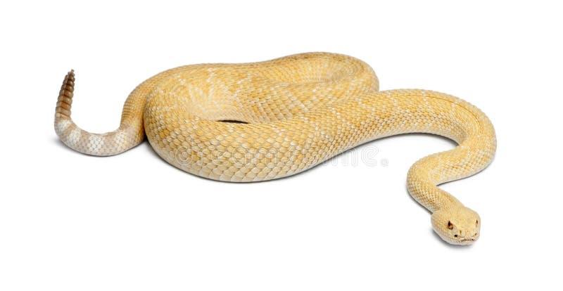Albinosa diamondback zachodni grzechotnik - Crotalus atrox, jadowity obraz royalty free