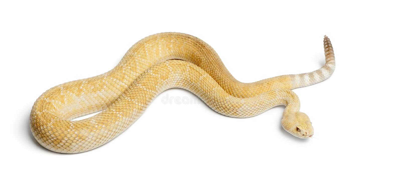 Albinosa diamondback zachodni grzechotnik - Crotalus atrox, jadowity zdjęcie stock