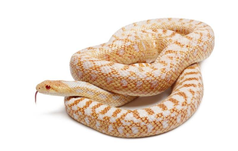 Albinosa gopher Pacyficzny wąż lub wybrzeża gopher wąż, pituophis catenifer annectans applegate zdjęcia royalty free