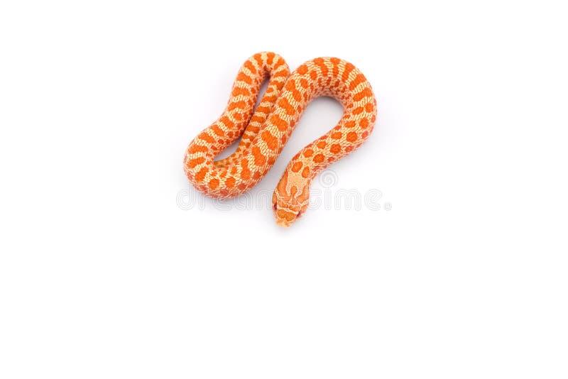 Albinosa hognose wąż odizolowywający na białym tle obrazy royalty free