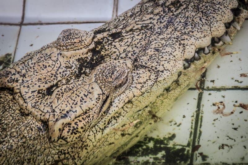 Albinosa krokodyl jest kryje depresję w wodzie Żywy złoty croco zdjęcia stock
