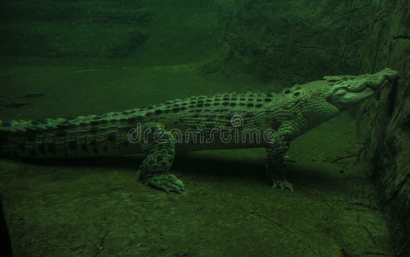 Albinosa krokodyl w wodzie obraz stock