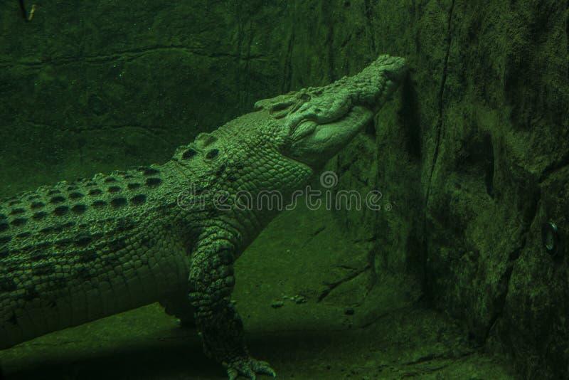 Albinosa krokodyl w wodzie zdjęcie royalty free
