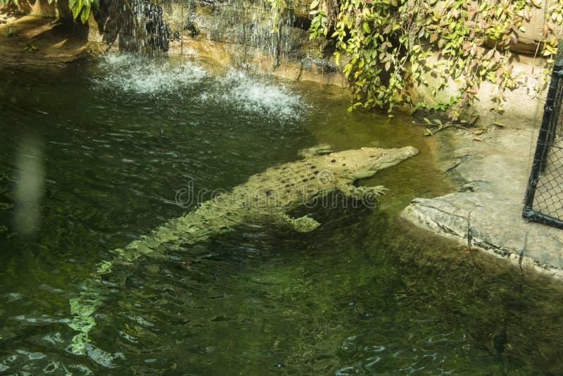 Albinosa krokodyl w wodzie obrazy royalty free