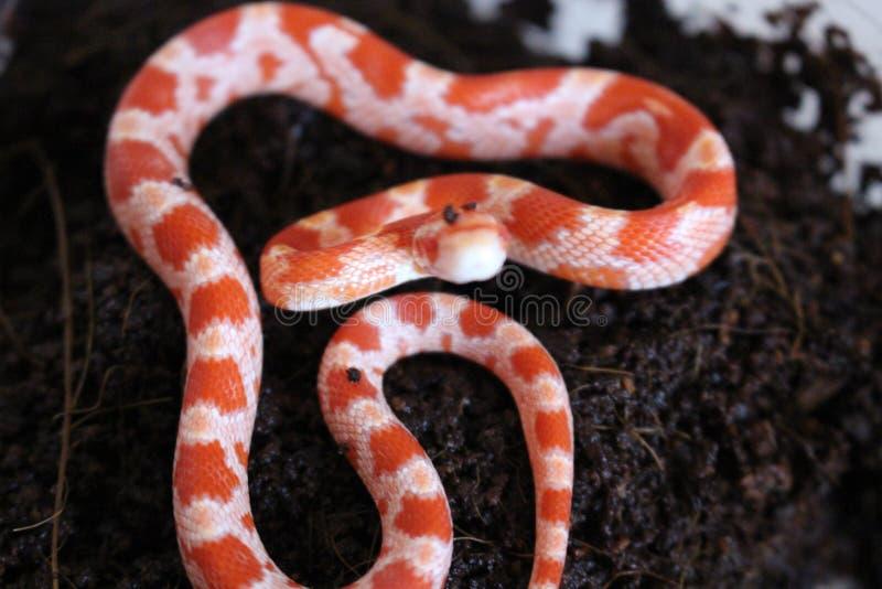 Albinosa Kukurydzanego węża dziecko obraz stock