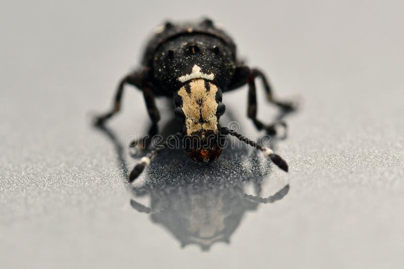 Albinus de Platystomos das brocas do fungo imagem de stock royalty free