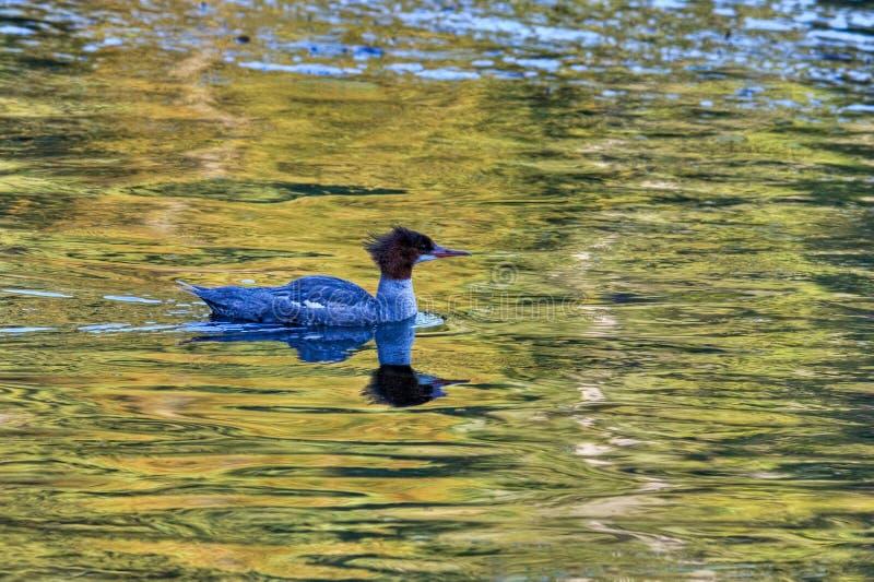 Albion Fluss-Ente lizenzfreie stockbilder