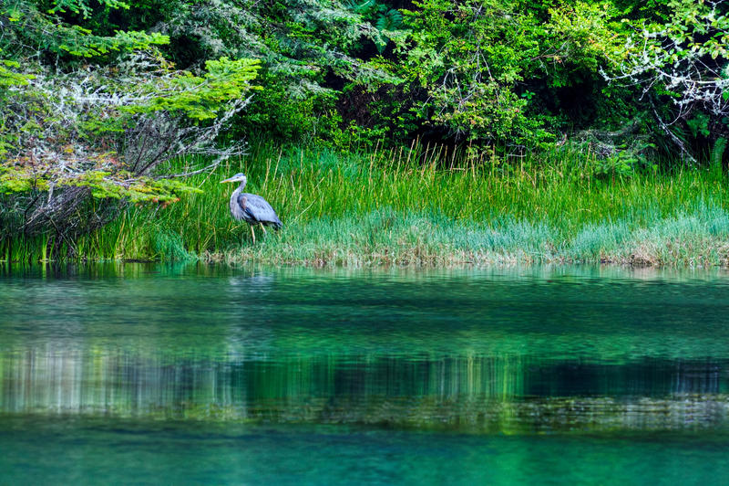 Albion Fluss-großes Blau-Reiher stockbilder