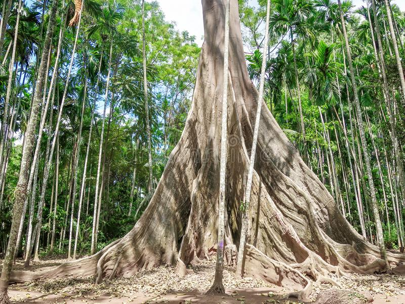 Albipila de ficus, arbre géant chez Uthaithani, Thaïlande photos stock