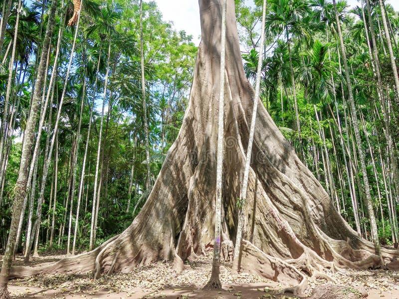 Albipila de los ficus, árbol gigante en Uthaithani, Tailandia fotos de archivo