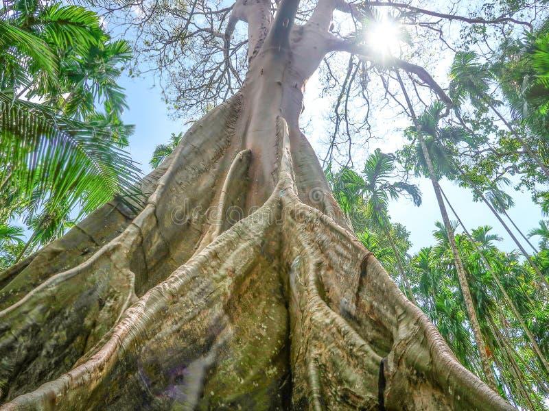 Albipila do ficus, árvore gigante em Uthaithani, Tailândia fotografia de stock royalty free