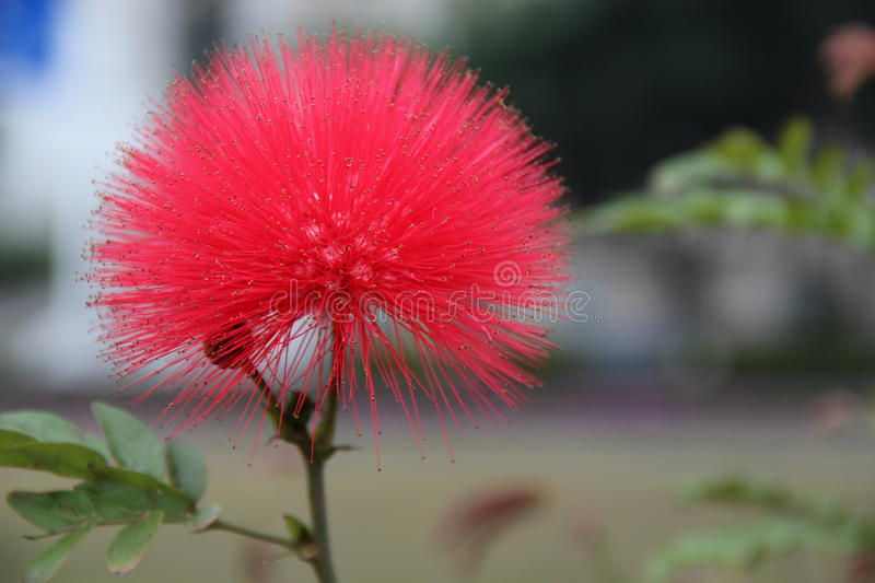 Albizia flower. Stand for love and family harmony stock image