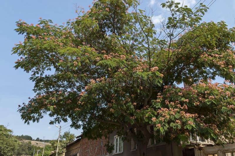 Albizia julibrissin Durazz oder Persisch, Mimosa-Baum mit schönen Blumen im Berg Sredna gora stockfoto
