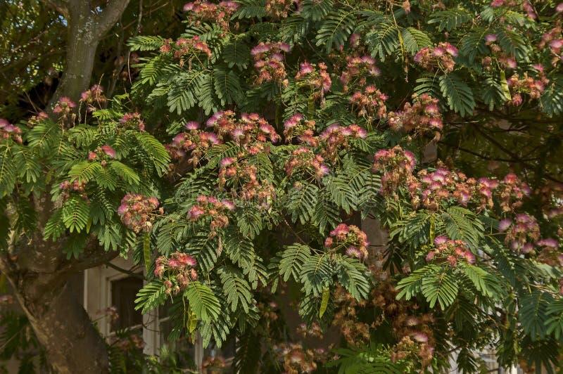 Albizia julibrissin Durazz oder Persisch, Mimosa-Baum mit schönen Blumen im Berg Sredna gora lizenzfreies stockbild