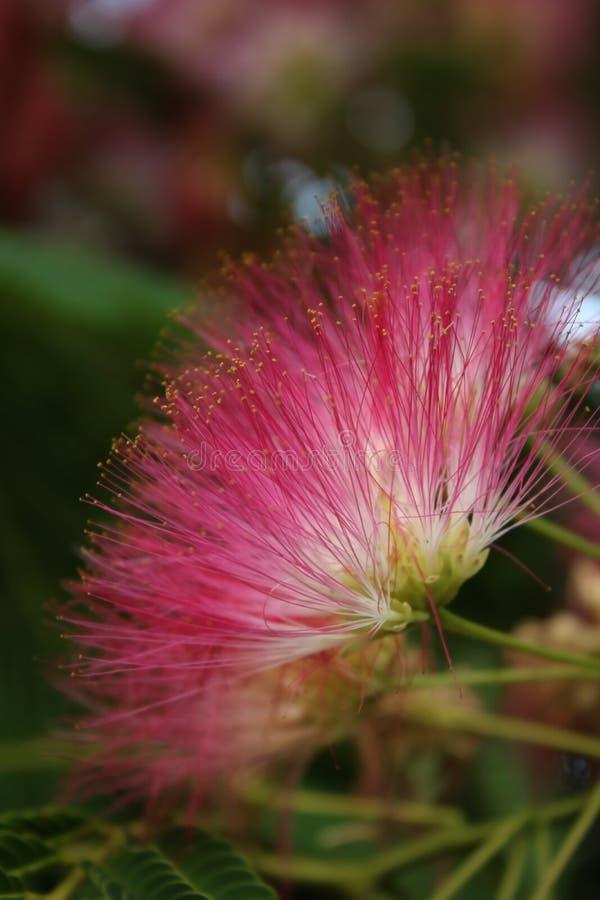 Albizia julibrissin kwitnie w mój ogródzie zdjęcia royalty free