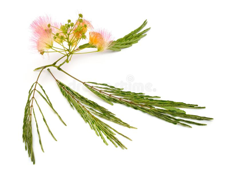 Albizia julibrissin or Persian silk tree, pink silk tree. Isolated on white background royalty free stock photo