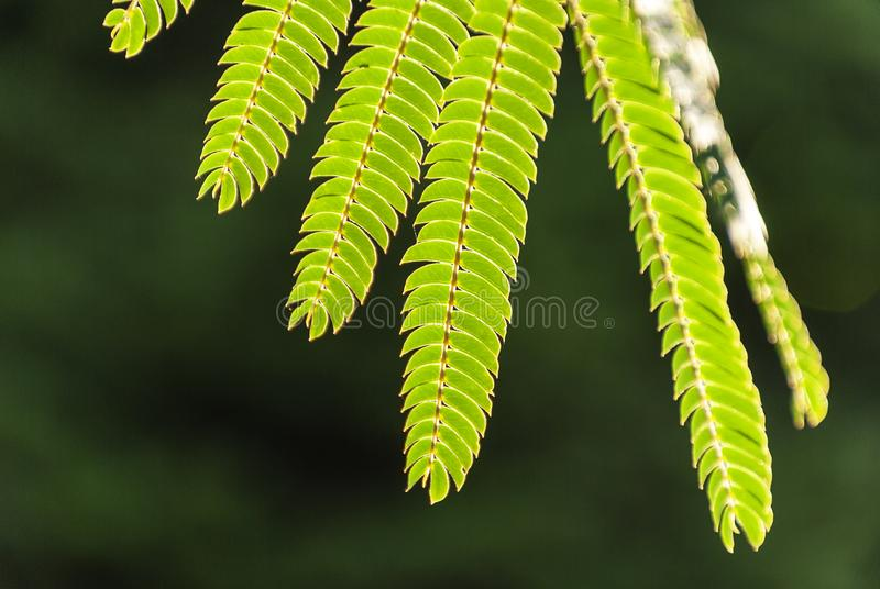 Albizia Julibrissin `rosea` leaves at backlight sunset. Green background. royalty free stock image