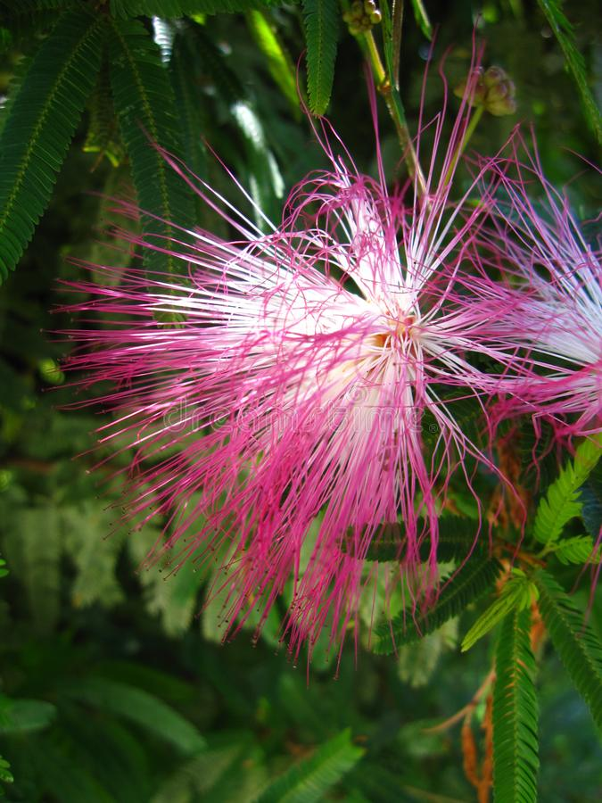 Albizia kwiat obrazy royalty free
