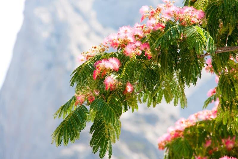 Albiziajulibrissin op de achtergrond van bergen royalty-vrije stock foto's