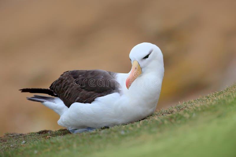 albratross Preto-sobrancelhudos Albatroz que senta-se no penhasco Albatroz com grama verde Albatroz de Falkland Island Pássaro de fotos de stock
