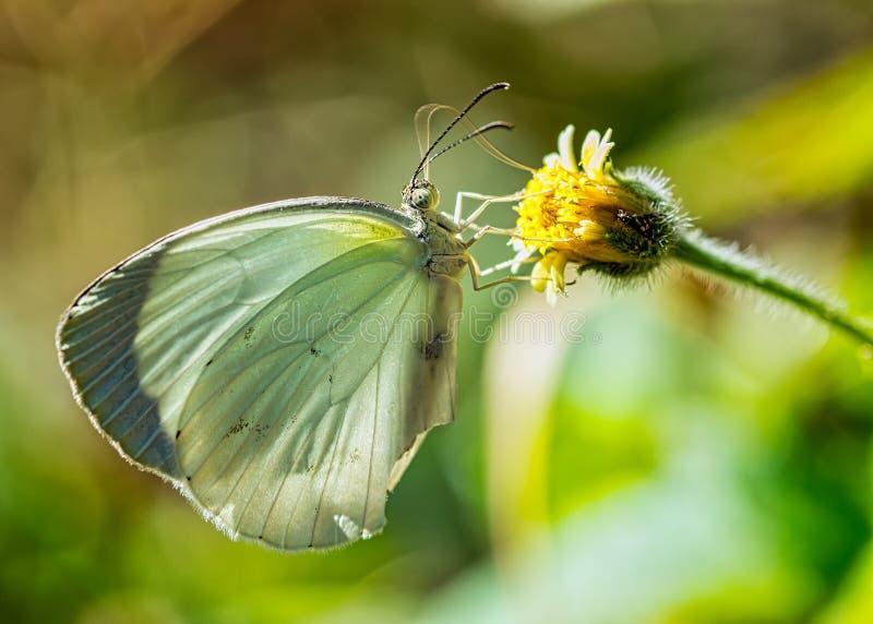 Albula de Eurema de la mariposa - lepidópteros - en la pequeña flor amarilla con phototography macro borroso del fondo imagen de archivo libre de regalías