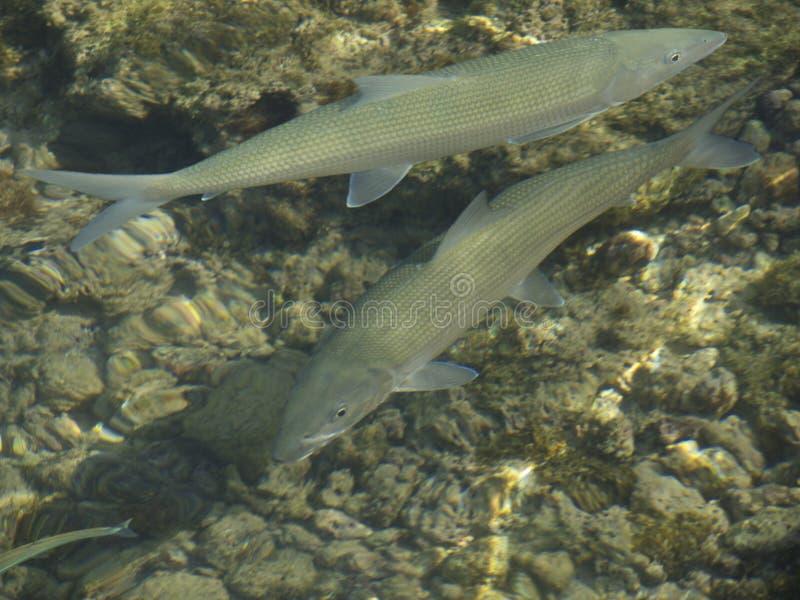 Albulidae stock foto's