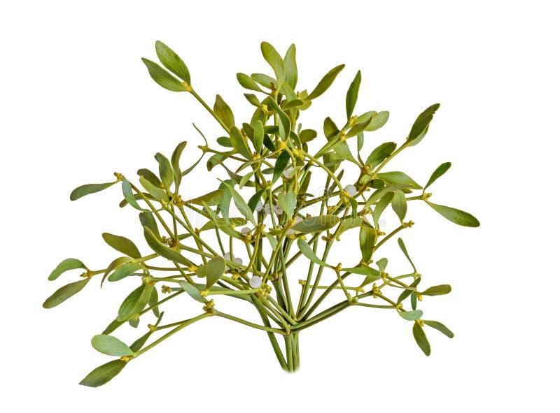 Album de Viscum, branche de gui, Santalaceae de famille, baie blanche image libre de droits