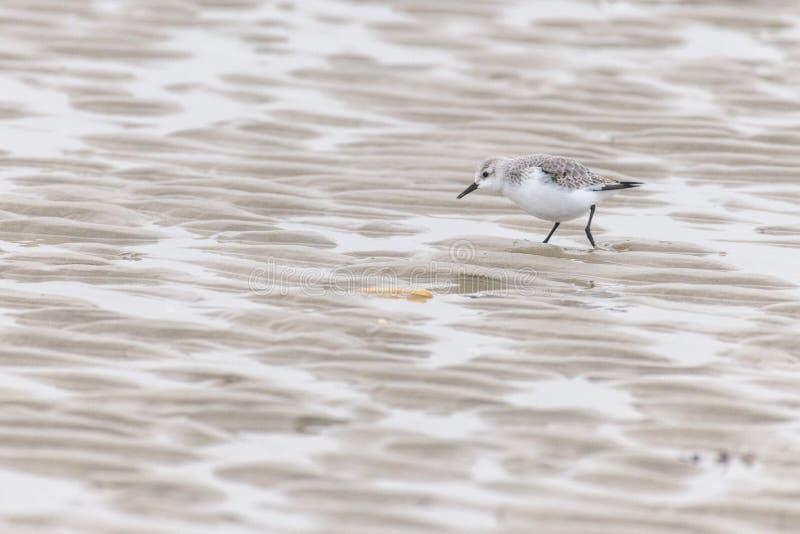 Album för en sanderlingcalidris på stranden royaltyfria bilder
