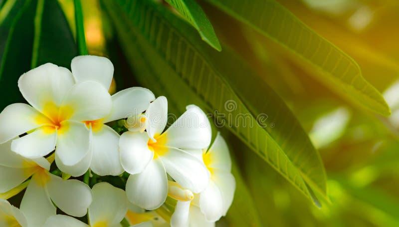 Album för FrangipaniblommaPlumeria med gräsplansidor på suddig bakgrund Vita blommor med guling på mitten Hälsa och brunnsort fotografering för bildbyråer