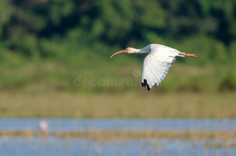 Albus bianco americano di Eudocimus dell'ibis fotografie stock libere da diritti