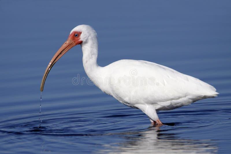 Albus bianco di Eudocimus dell'ibis che guada in acqua fotografie stock
