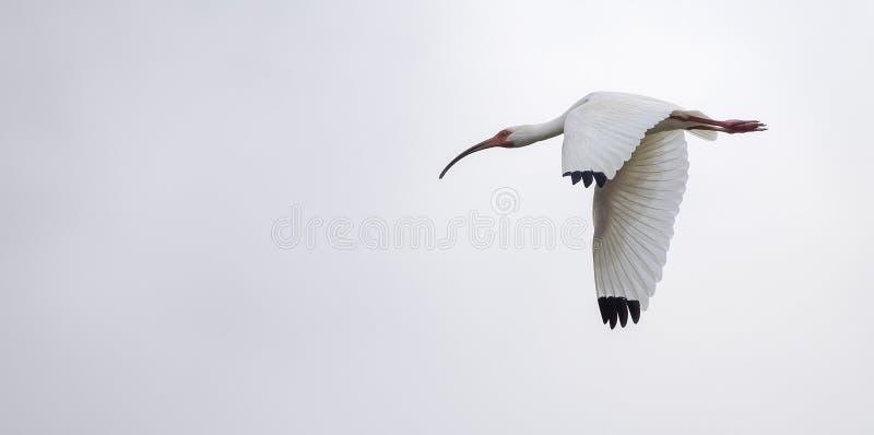 Albus blanco americano de Ibis Eudocimus en vuelo fotografía de archivo libre de regalías