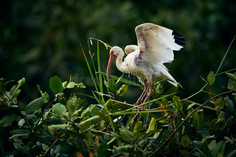 Albus branco americano de Eudocimus dos íbis que aterra em uma árvore Cena dos animais selvagens da natureza fotografia de stock
