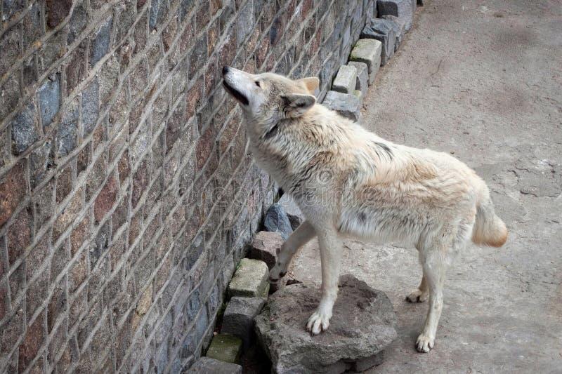 Albus de lupus de Canis de loup blanc ou loup de toundra dans le zoo image stock