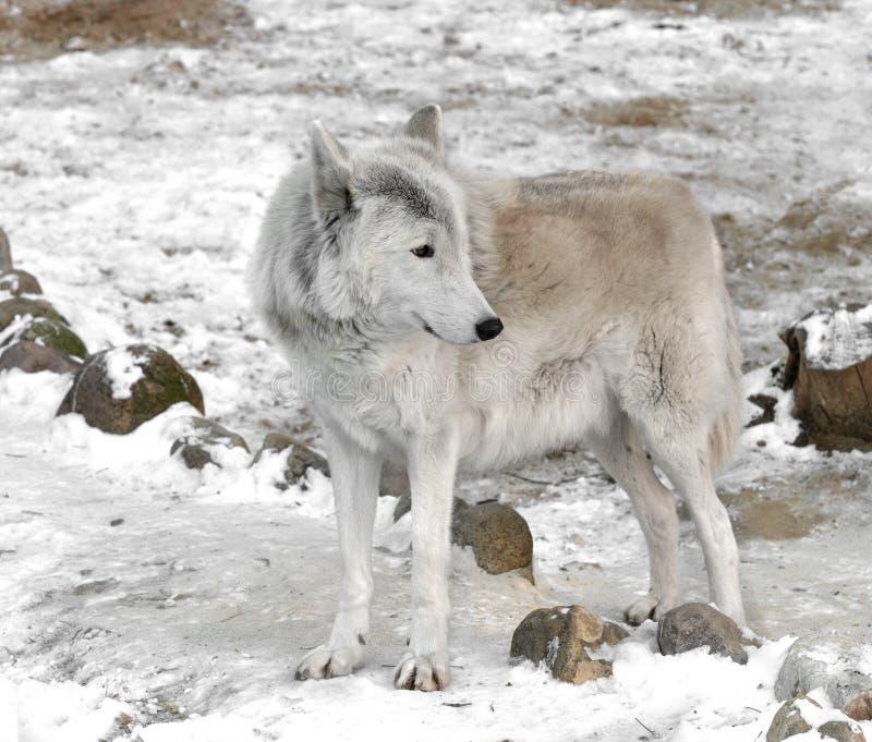 Albus de lupus de Canis de loup de toundra, également connu sous le nom de loup de Turukhan en hiver image libre de droits