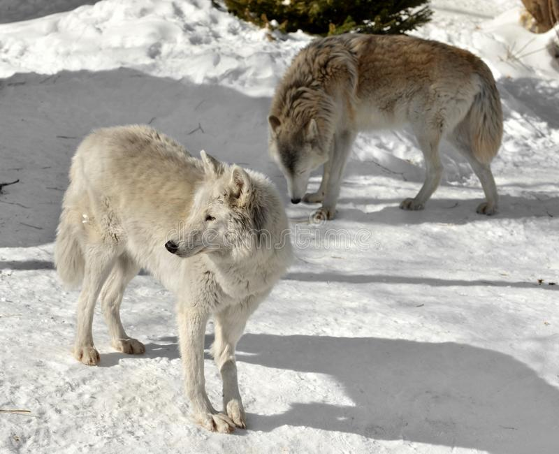 Albus do lúpus de Canis do lobo da tundra Dois lobos no inverno foto de stock