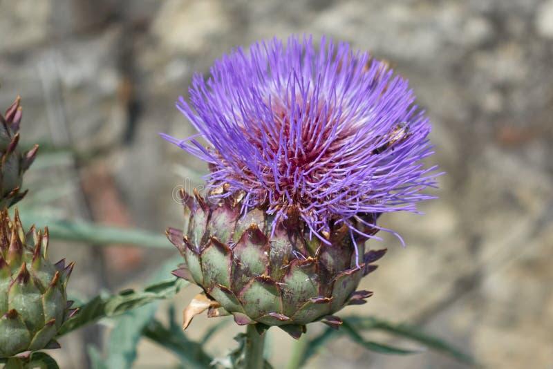 Alcachofa en la floración fotos de archivo libres de regalías
