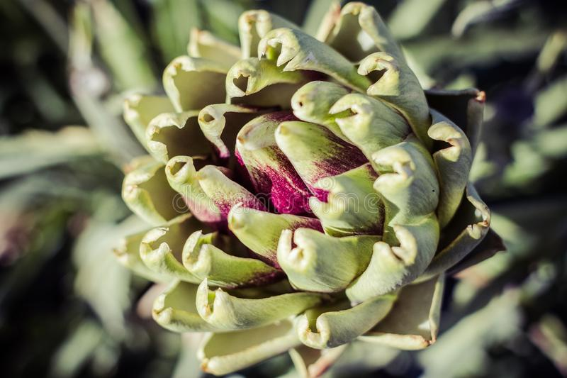 Alcachofa fresca en el jardín imagen de archivo libre de regalías
