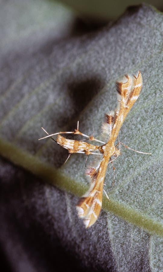 Alcachofa Plume Moth fotografía de archivo libre de regalías