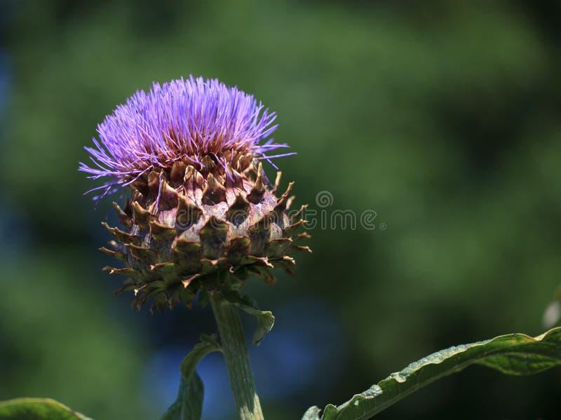 Download Alcachofra Cynaria imagem de stock. Imagem de fora, vegetal - 26510049